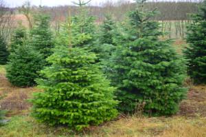 Когда нужно покупать новогоднюю елку?