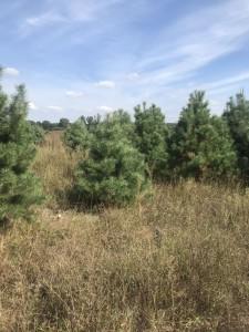 элитная елка цена